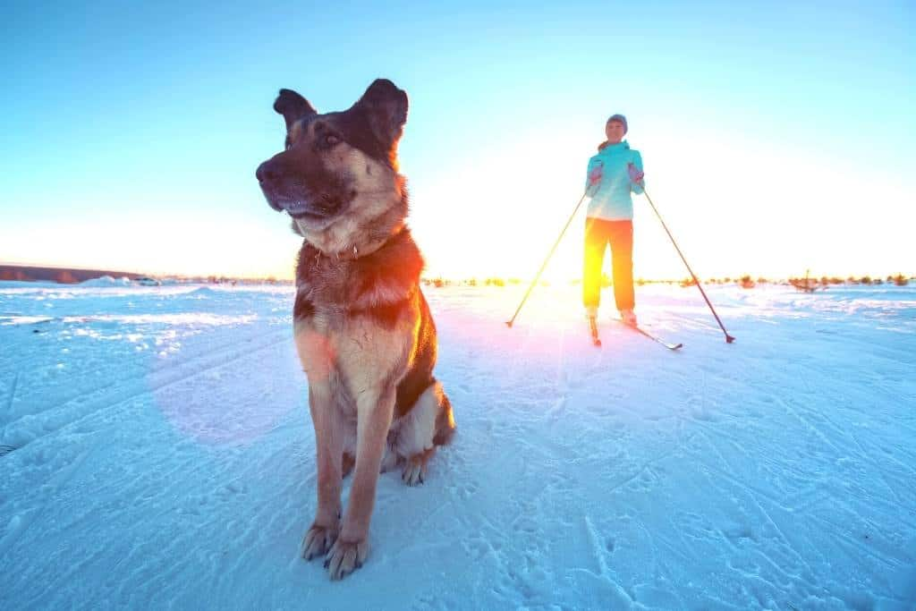 A dog sits in the snow looking into the distance while a woman on skiis looks on.