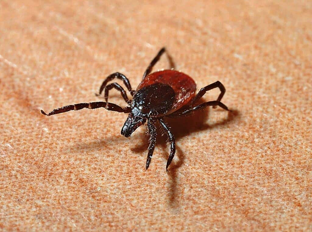 ticks that carry lyme disease