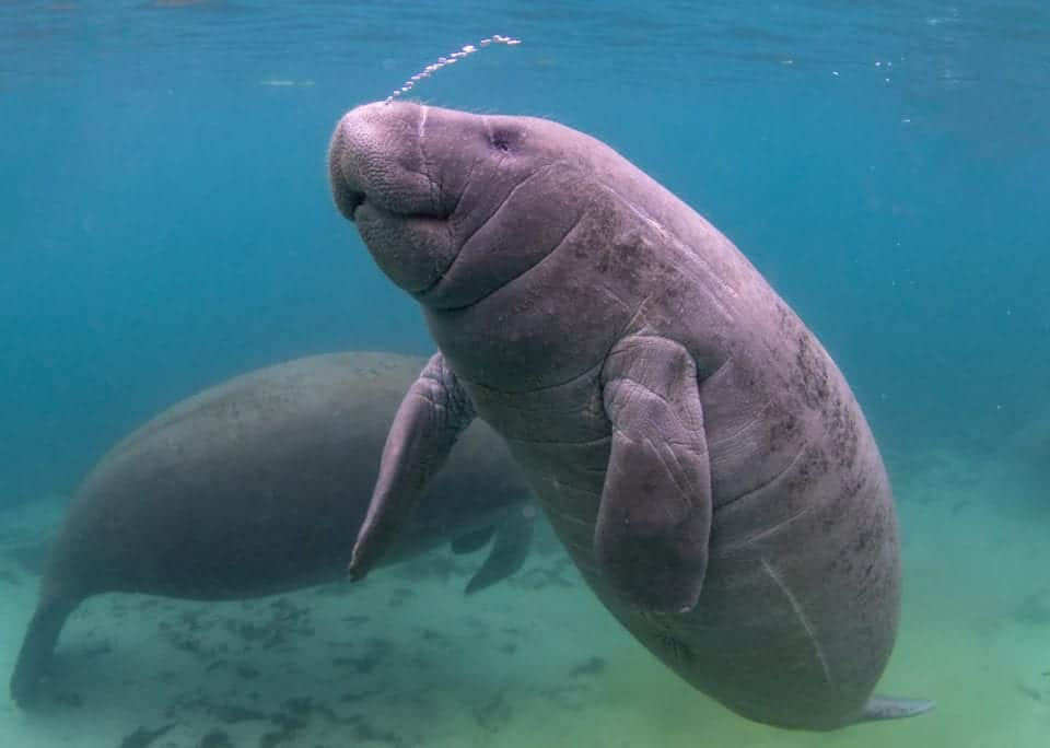 Two manatees underwater near Crystal River, Florida.