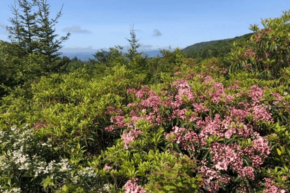 Rhododendrons in bloom in Grayson Highlands State Park.
