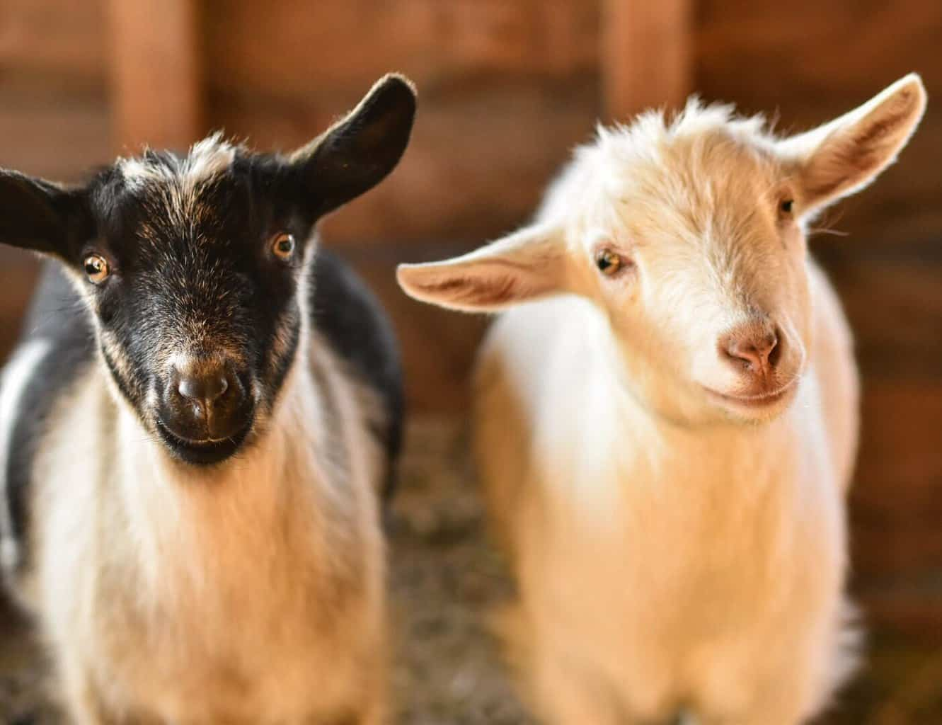 two baby goats are born during mud season in Vermont.