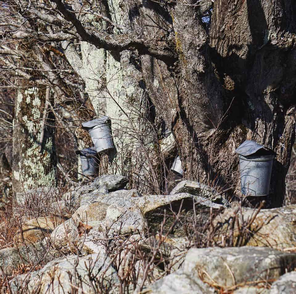 maple sap buckets hanging on maple trees in Vermont.