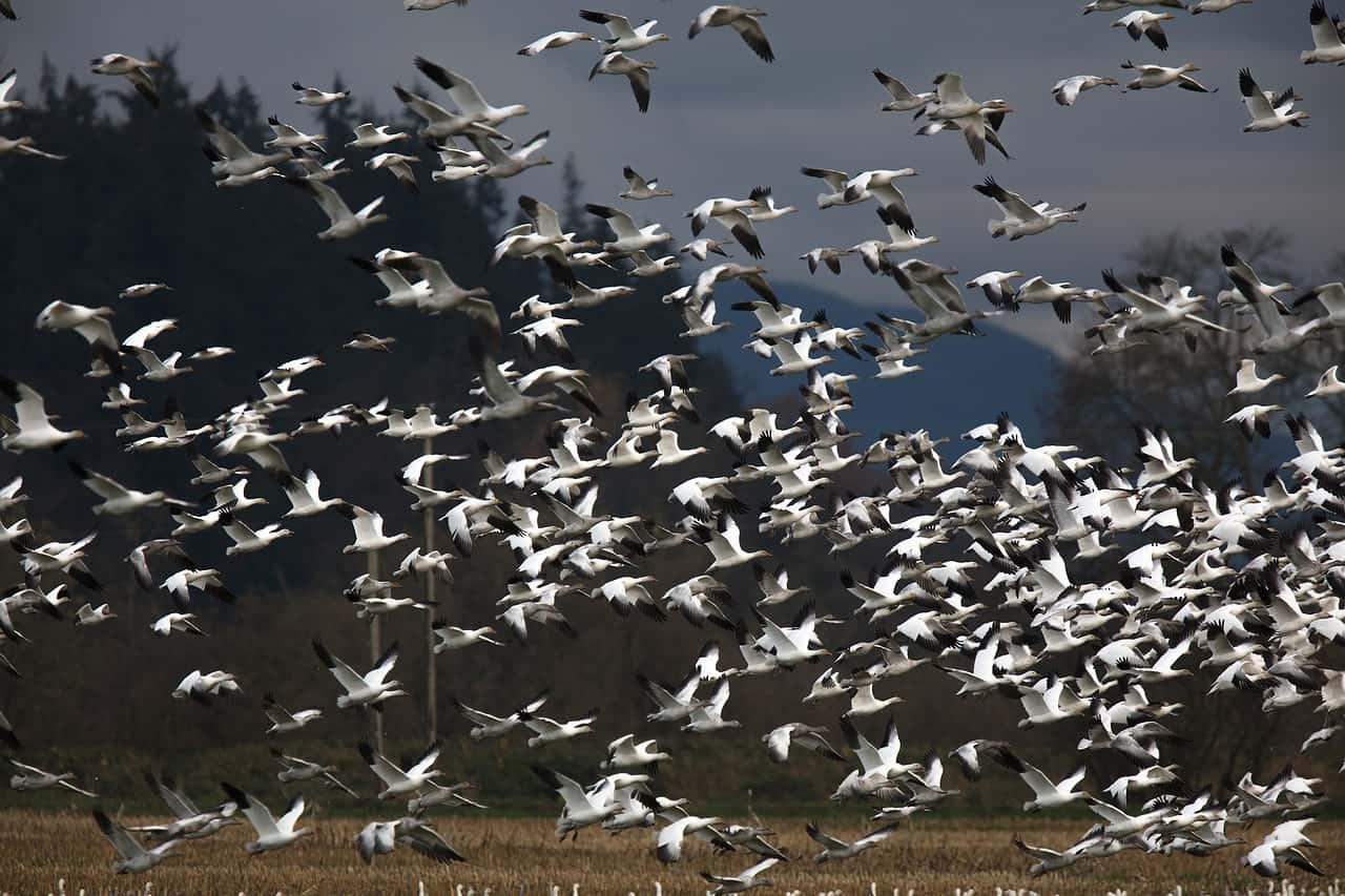 Snow geese migration in Vermont