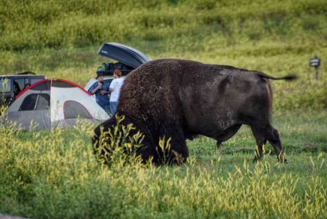 A bison wandering around Sage Creek Campground in Badlands National Park.