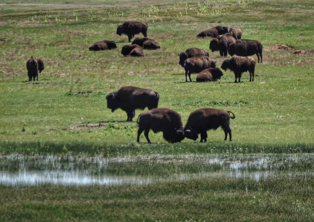a herd of bison in Wind Cave National Park