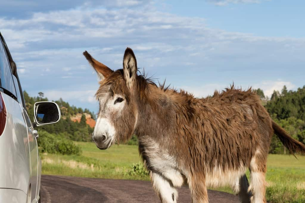A lone burro stands near a car in Custer State Park, South Dakota