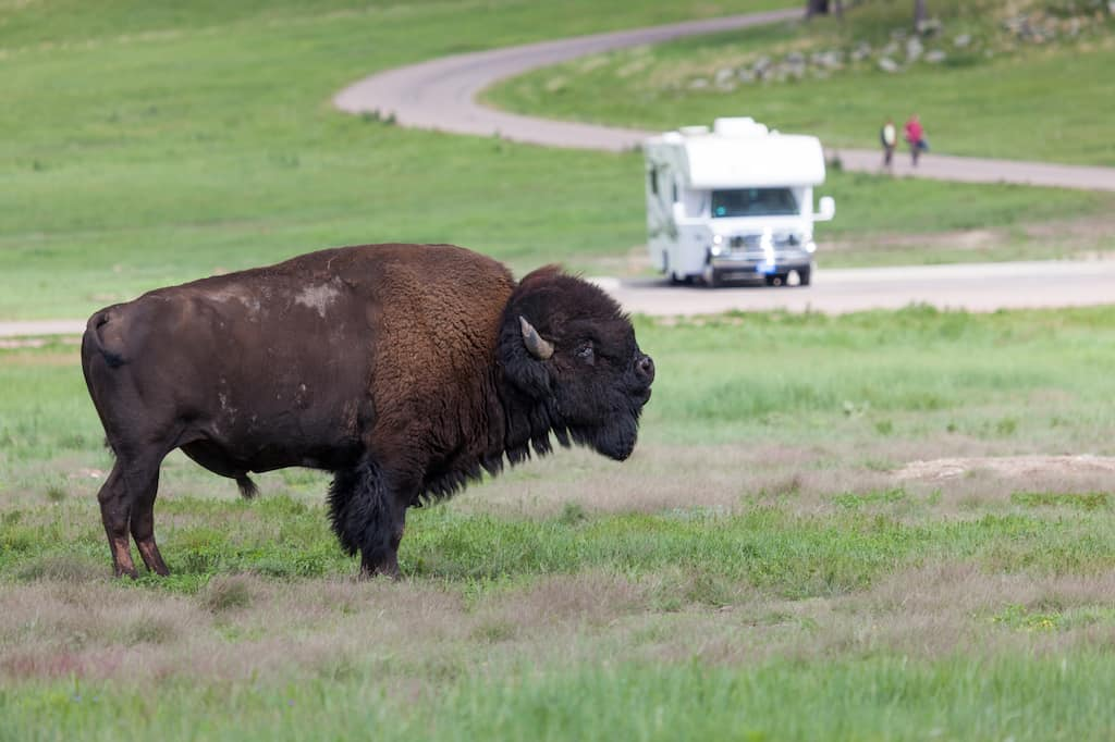 A bison stands in front of an RV in Custer State Park