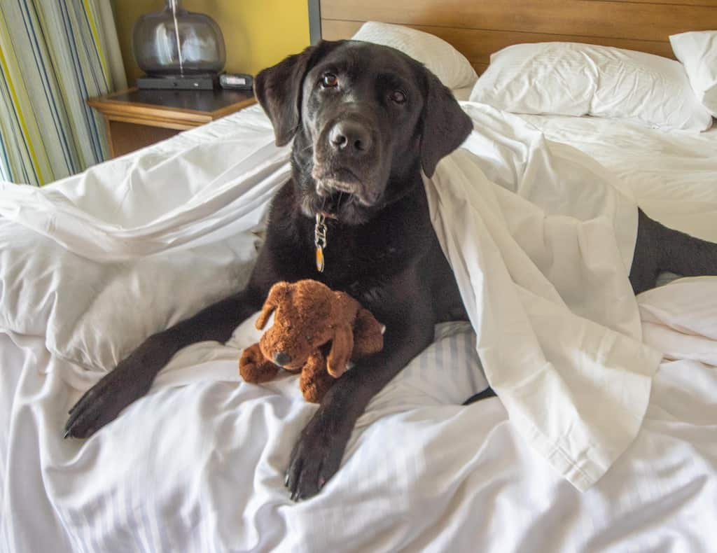 A black Labrador lies on a messy bed with a stuffed dog.