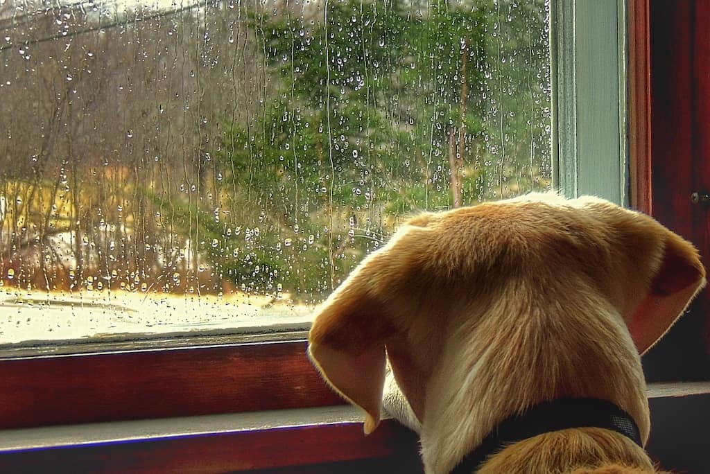 The back of a yellow lab looking out a window at the rain