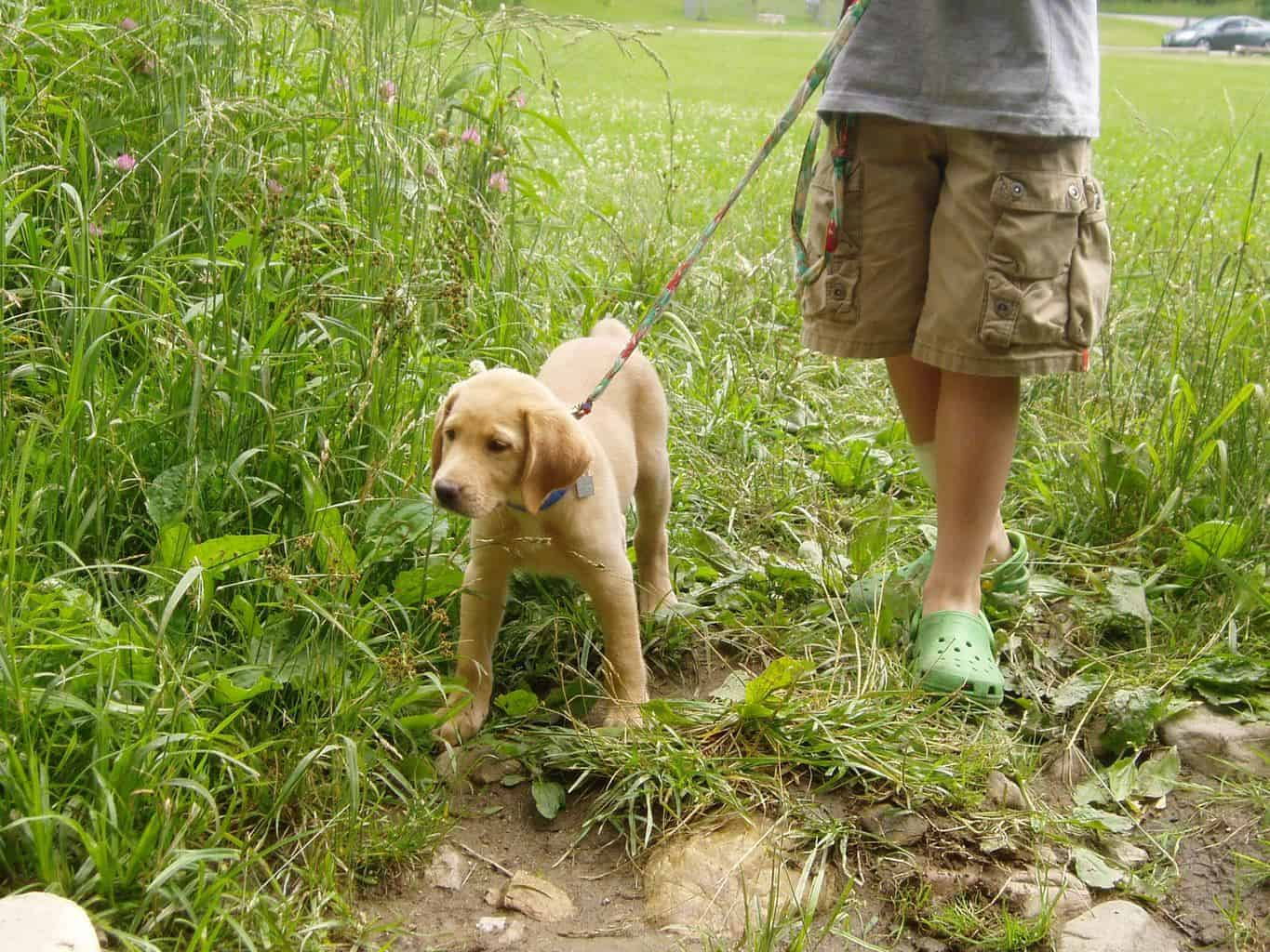 A yellow lab puppy at the end o f a leash with a young boy standing in the tall grass.