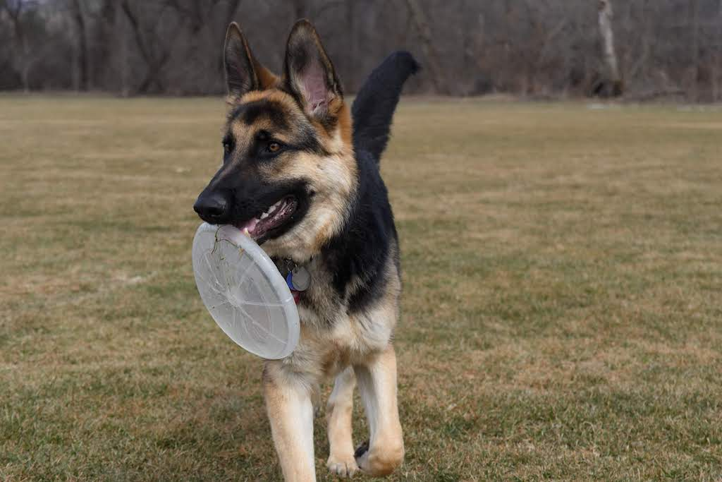 A German Shepherd holds a frisbee in a large field.