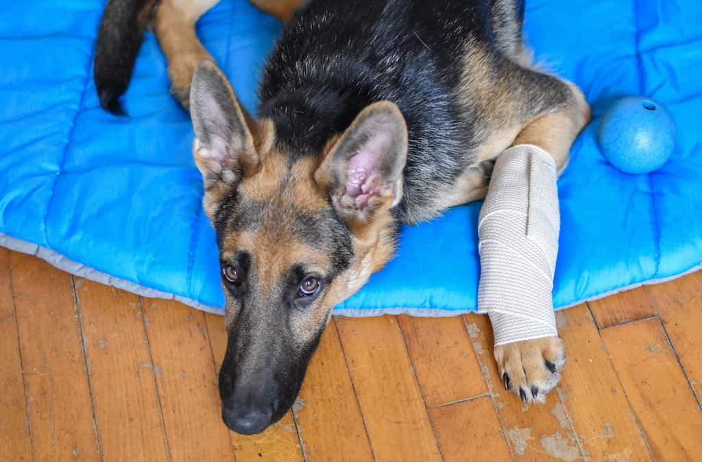 A German Shepherd lies on a camping bed with his foot wrapped in an ace bandage.