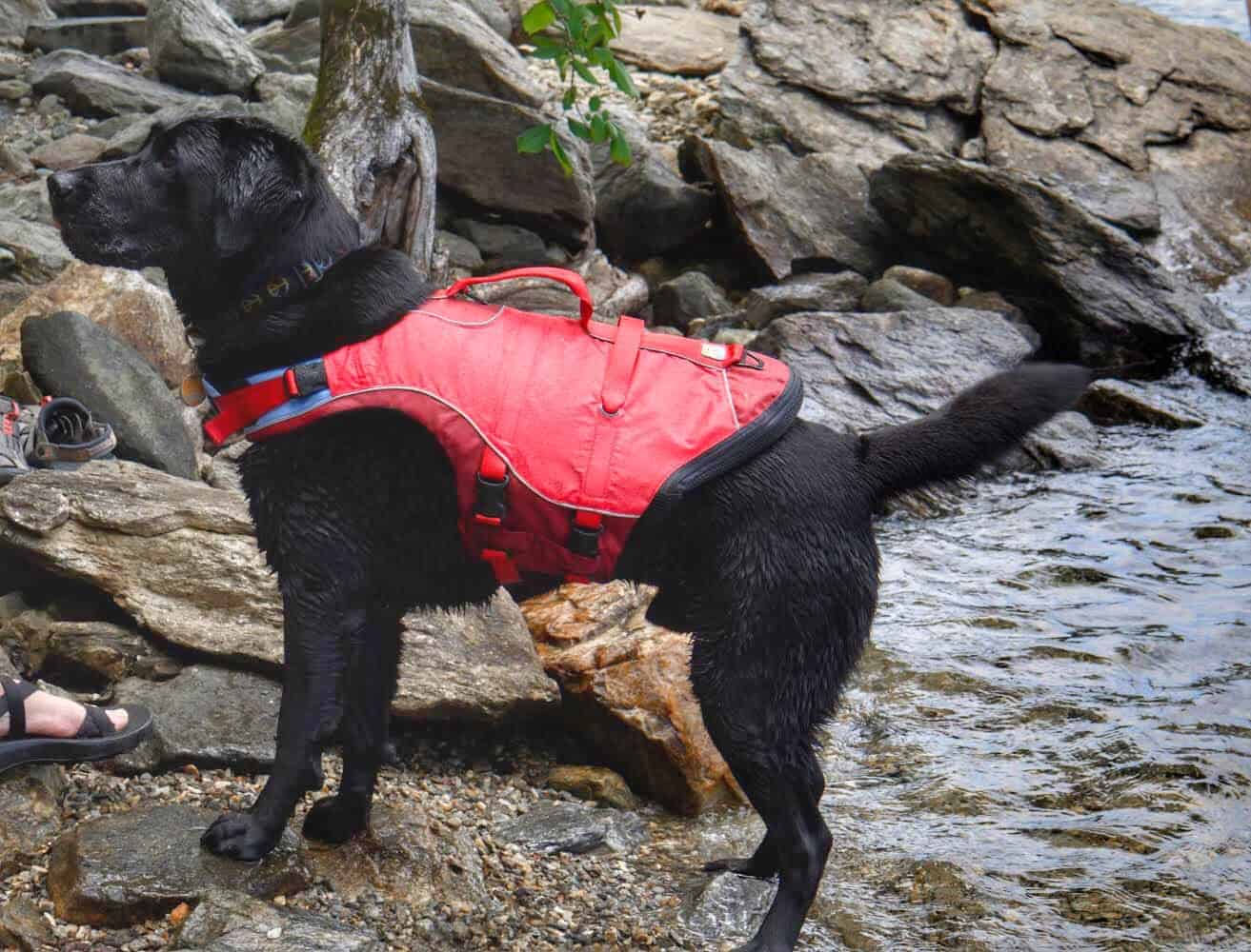 A black Labrador on the shore of a rocky lake. He is wearing a red life jacket.