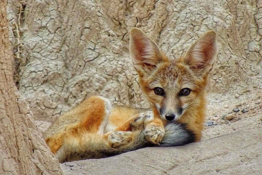 A young fox curled up and looking at the camera in Cathedral Gorge State Park in Nevada.