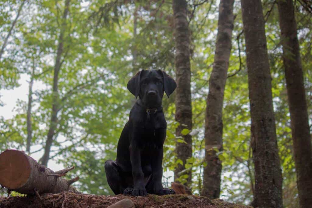 A black lab puppy sits on a ledge in the woods looking at the camera