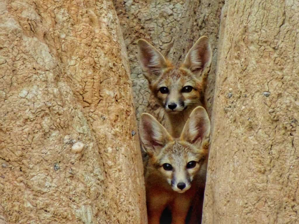 Two desert foxes stare at the camera from behind two rocks at Cathedral Gorge State Park in Nevada.