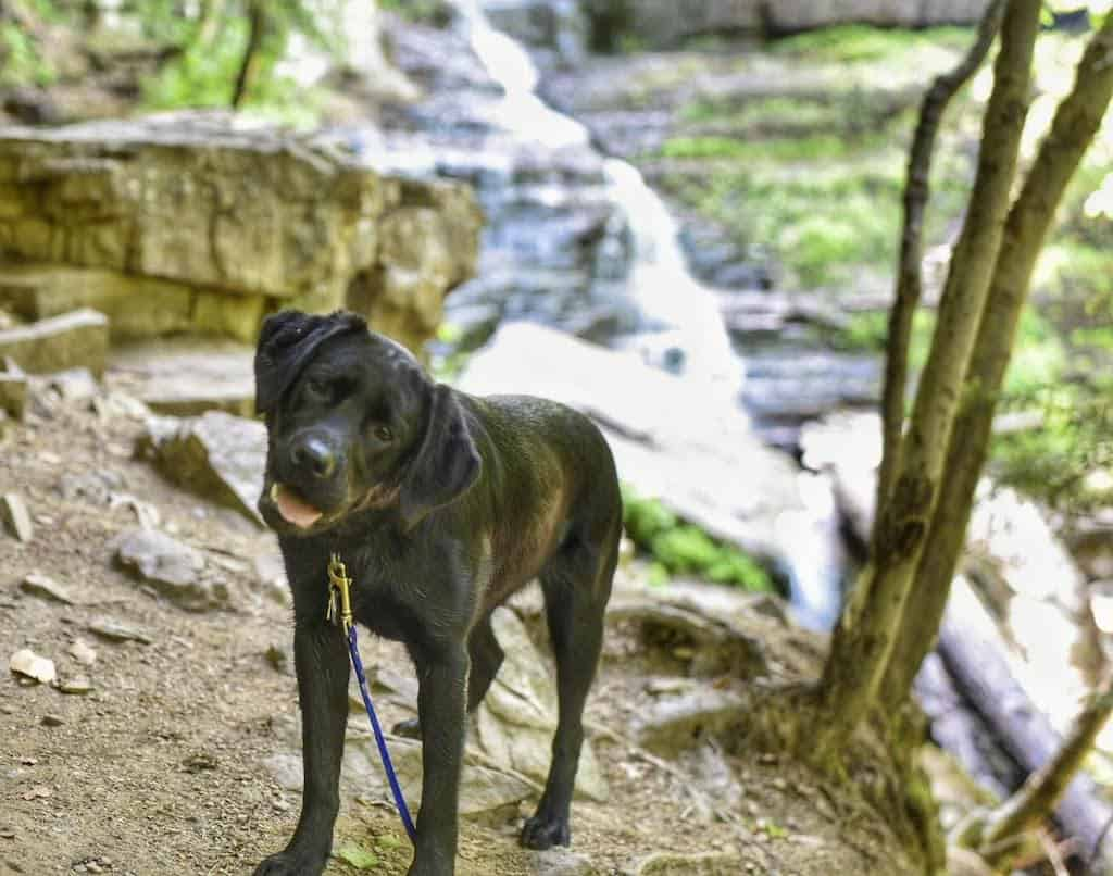 A black lab puppy stands looking at the camera in front of Lye Brook Falls in Manchester, Vermont
