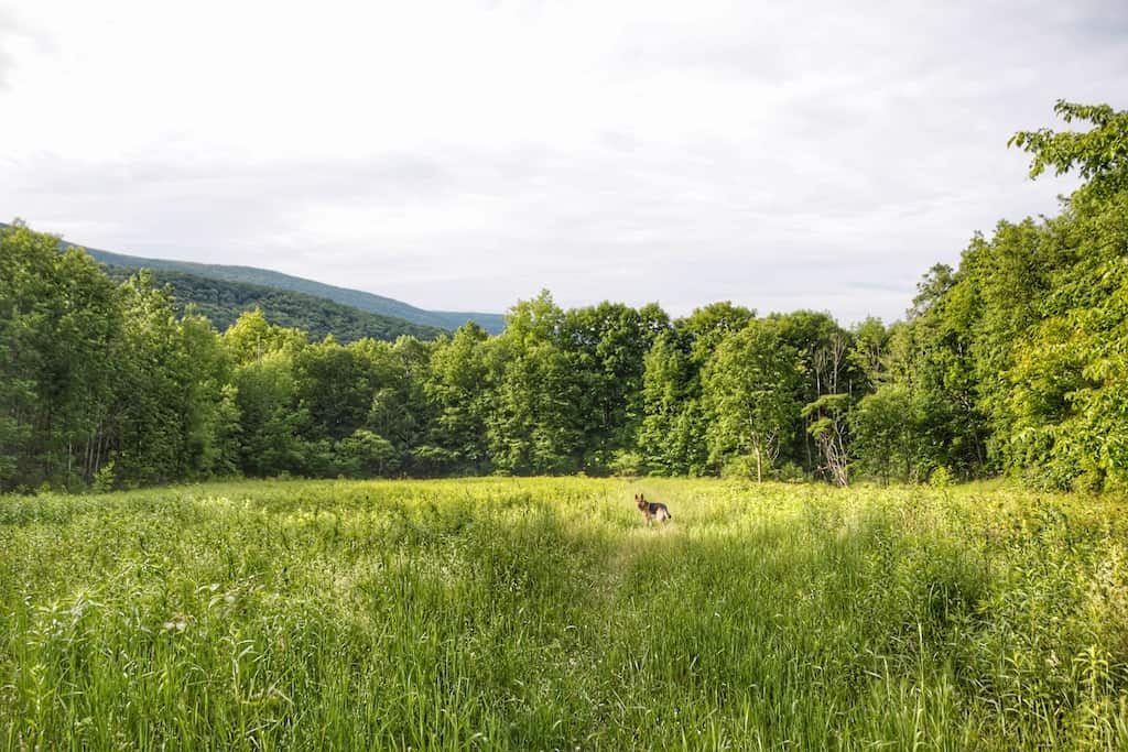 A dog stands in a meadow of tall grass at Emerald Lake State Park in Vermont.