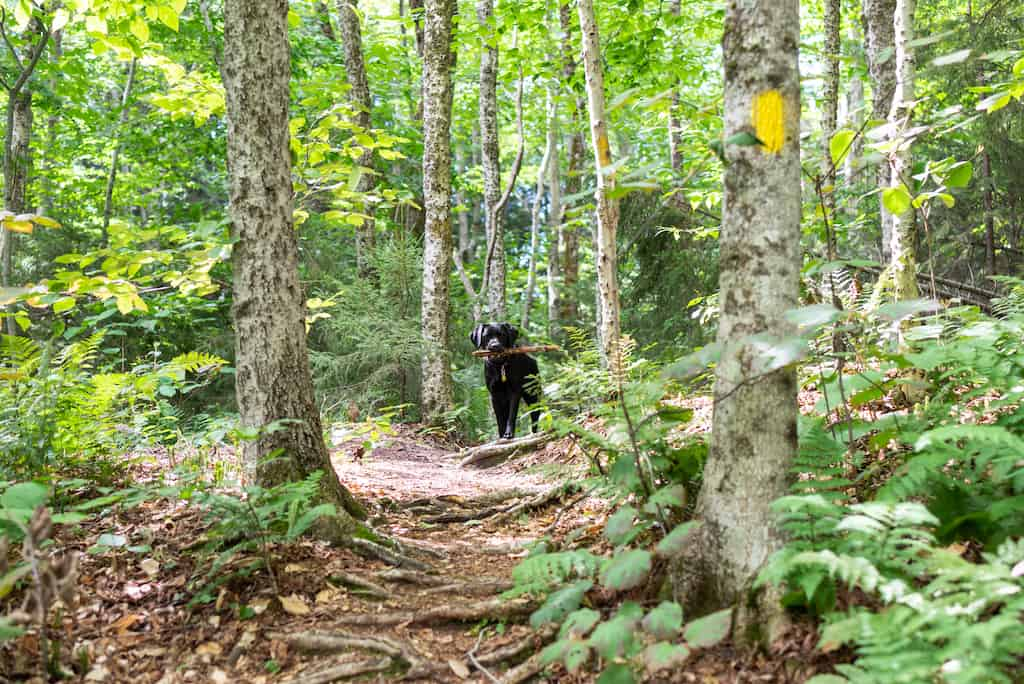 A black lab stands in the woods holding a stick. She is looking at the camera.