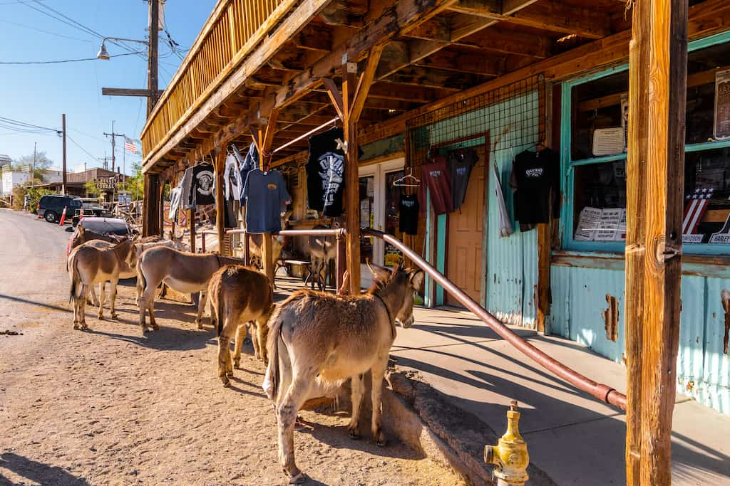 a herd of ferrel burros relax near a store in Oatman Arizona