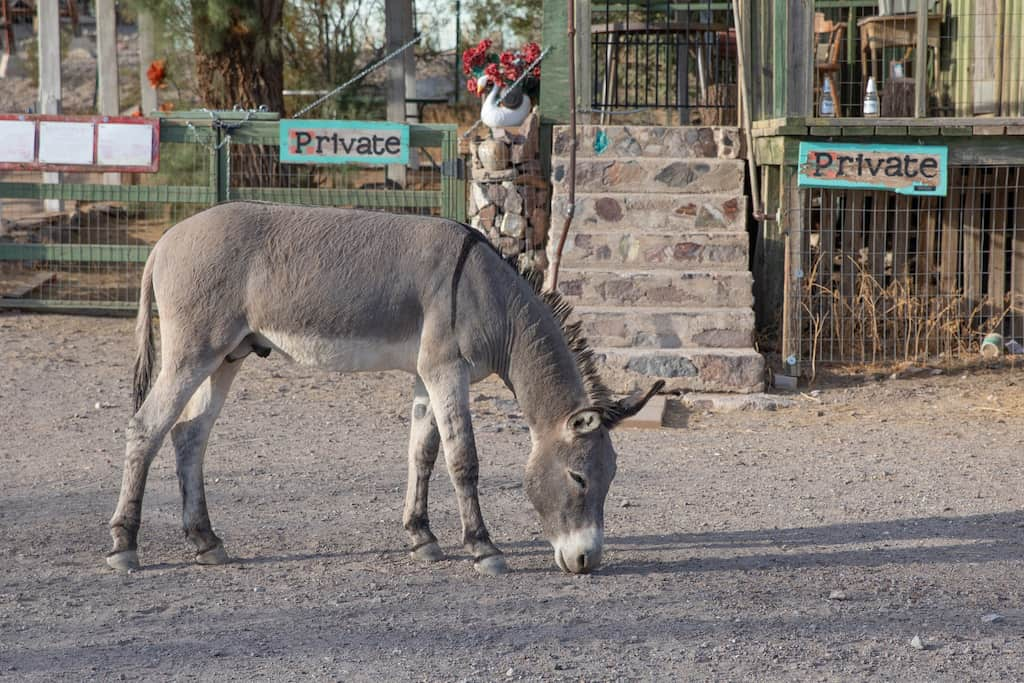 A burro wanders the streets of Oatman AZ