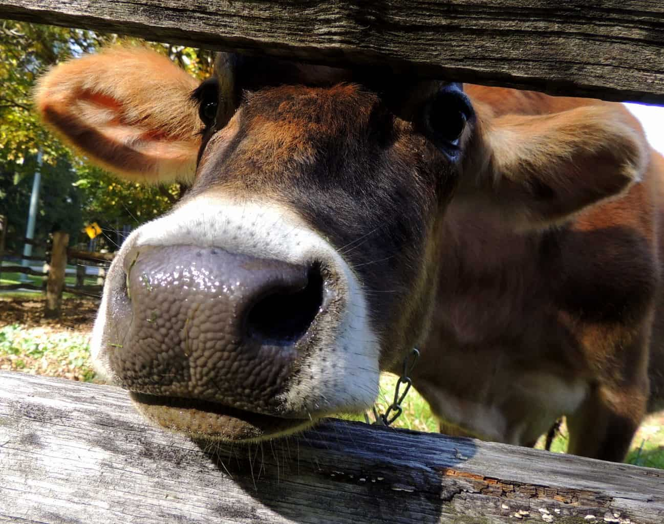 A cow at Billings Farm in Woodstock, Vermont