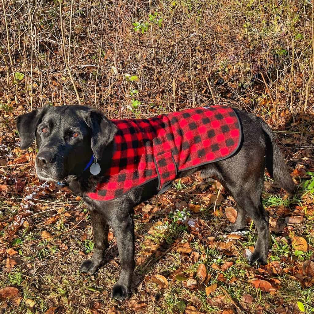 A black lab wearing a red and black checkered dog coat from Johnson Woolen Mills in Vermont.