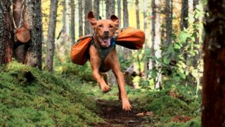 A dog wearing a backpack runs through the forest toward the camera.