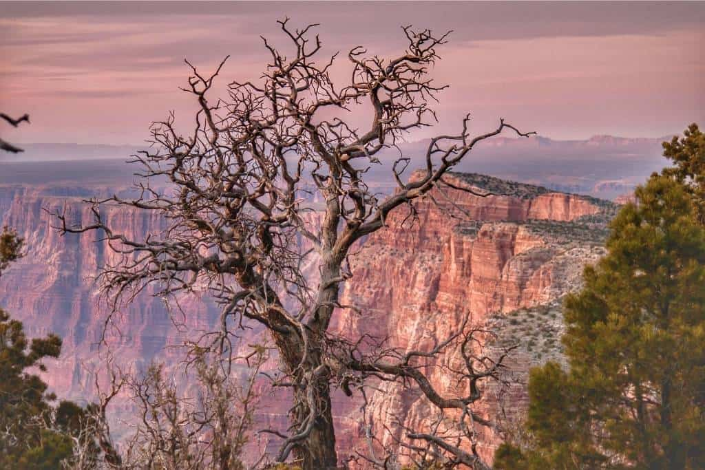 A gnarled tree on the edge of the South Rim in Grand Canyon National Park