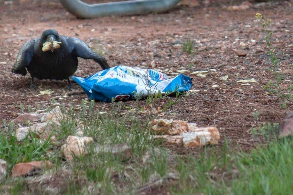 A raven eating potato chips is Desert View Campground, Grand Canyon National Park