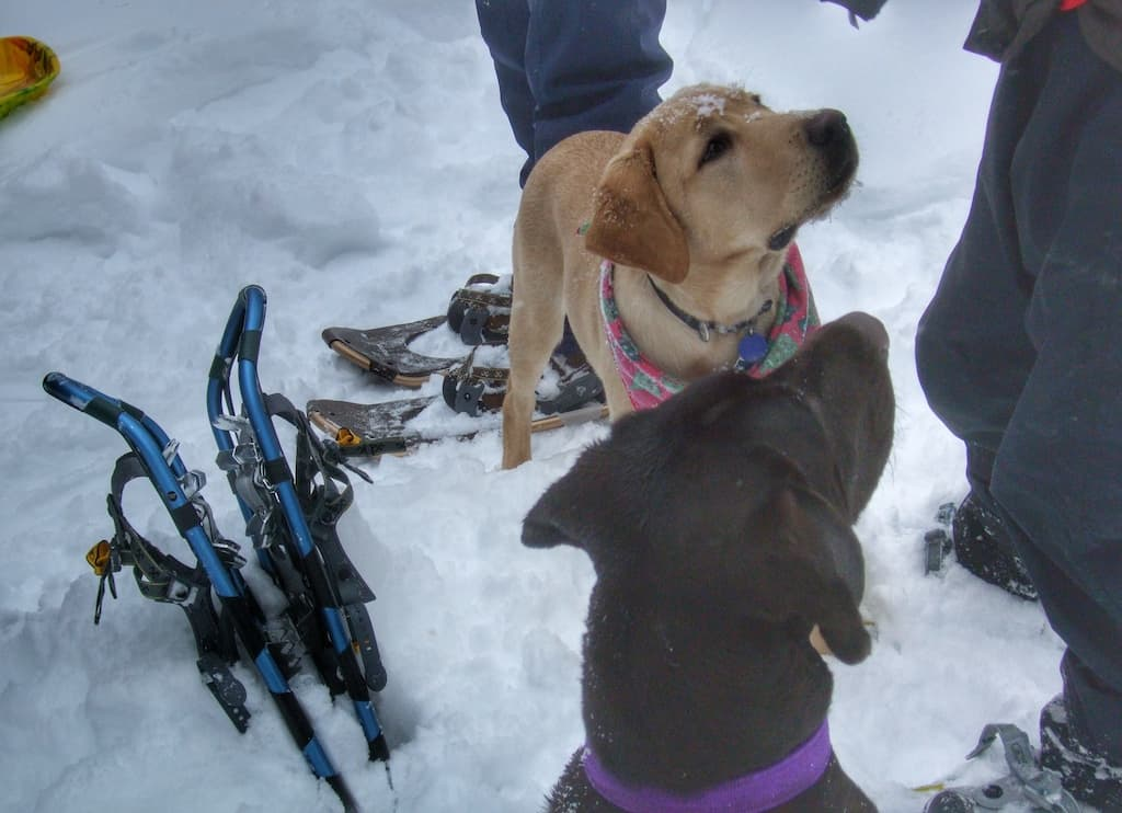 Two Labrador Retrievers stand in the snow next to a pair of snowshoes.