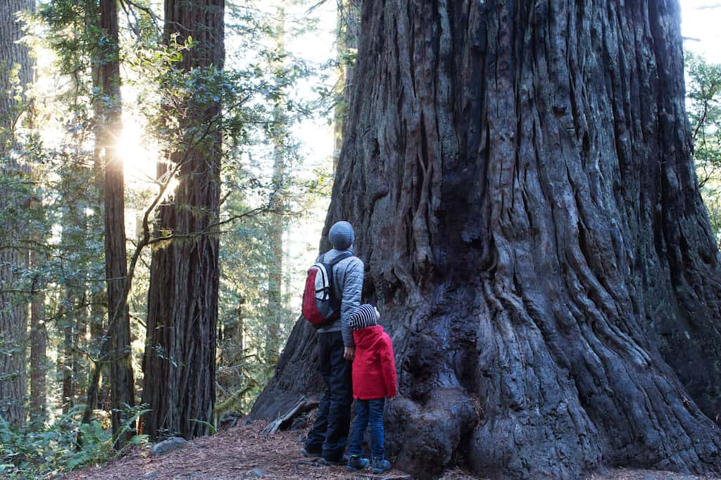 A man and child stand near a redwood tree in California looking up to judge its height.
