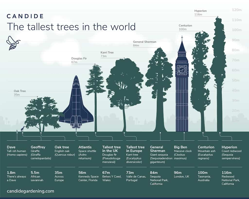 An infographic showing the size of a redwood tree.