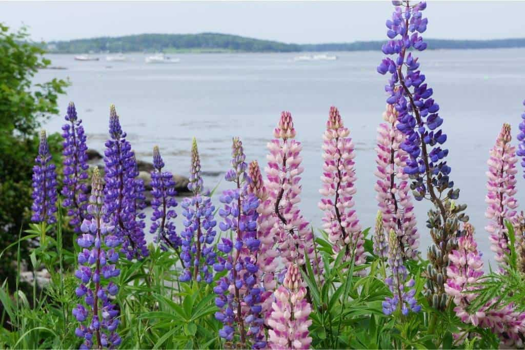Lupines growing on the shore near Bar Harbor, Maine.