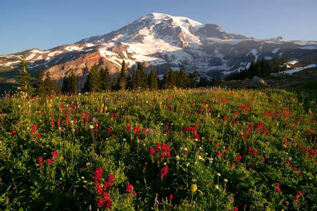 Wildflowers at the base of Mount Rainier in Washington State.