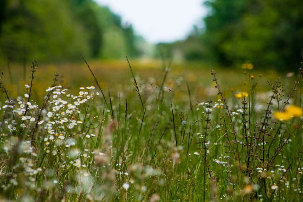 A path through a field of wildflowers in Tosohatchee Preserve in Christmas, Florida