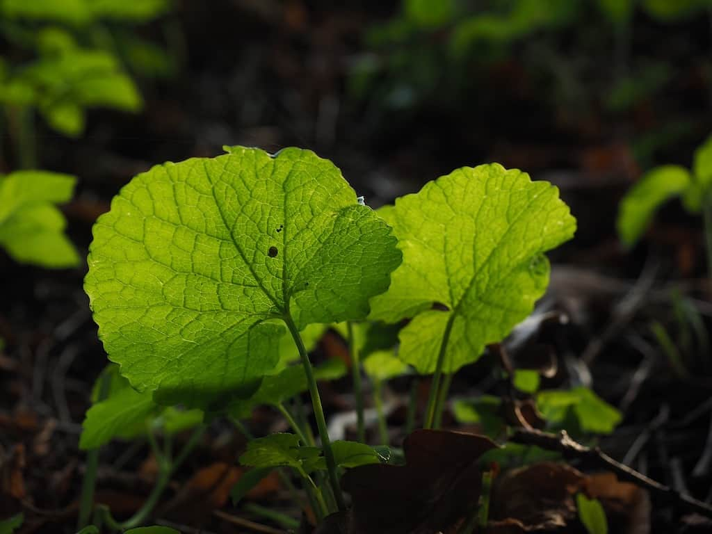 garlic mustard growing in the early spring.