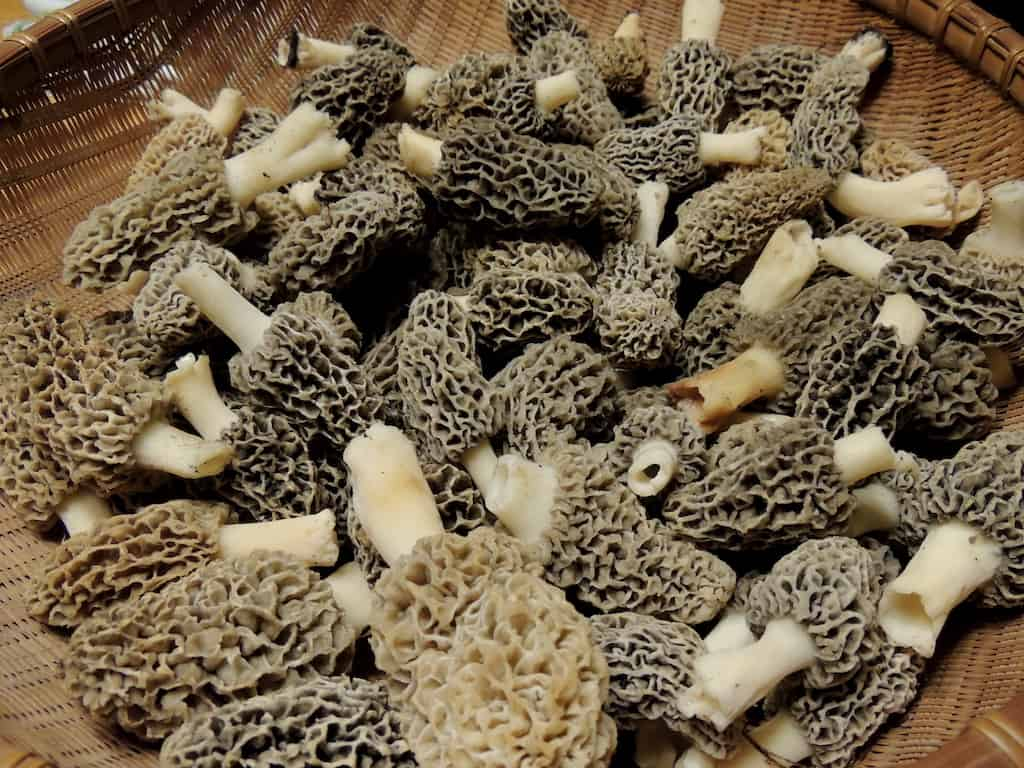A basket of morels foraged in the spring.