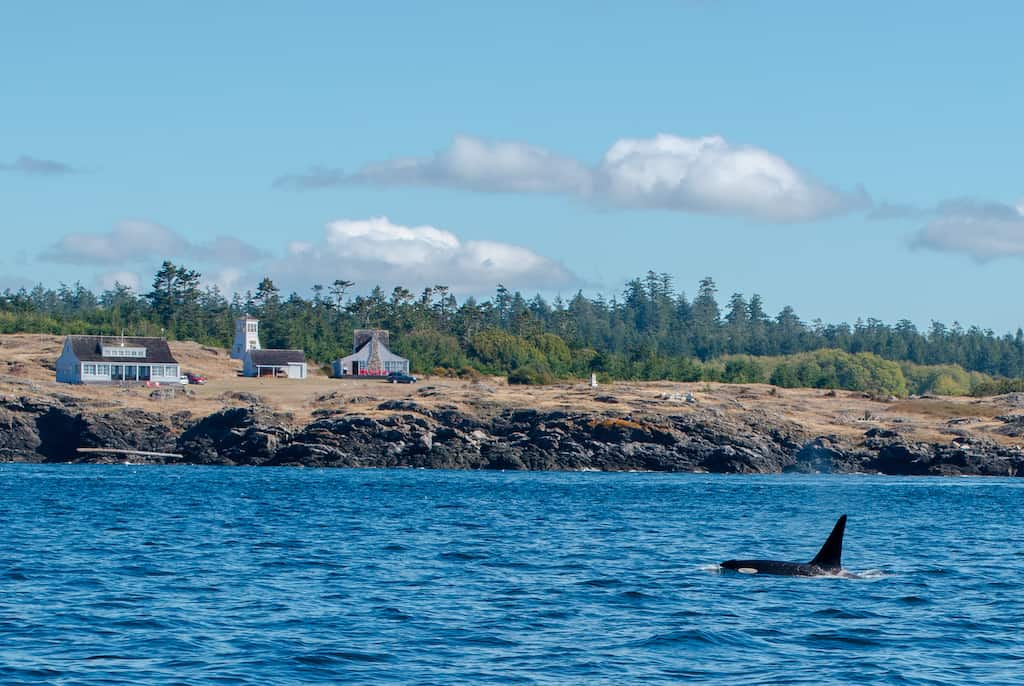 A resident orca whale in Port Townsend, Washington.