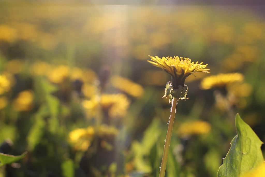 A close-up of a dandelion reaching toward the sun in a field of more danelions.