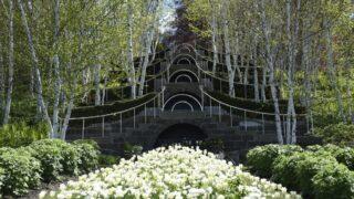 White birches and white tulips at Naumkeag in Stockbridge, MA.