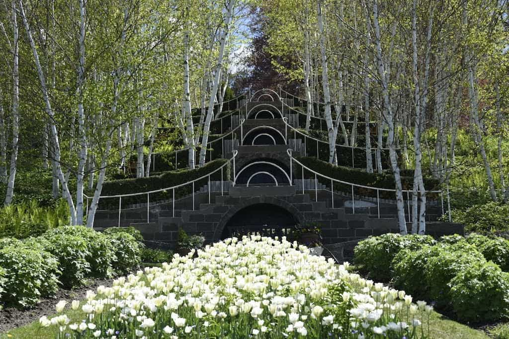 tulips blooming in front of a grove of white birch trees at Naumkeag in Stockbridge, MA.