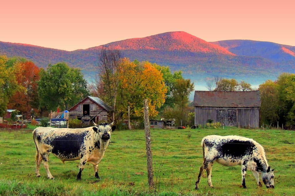 Two cows grazing on a farm in Vermont.