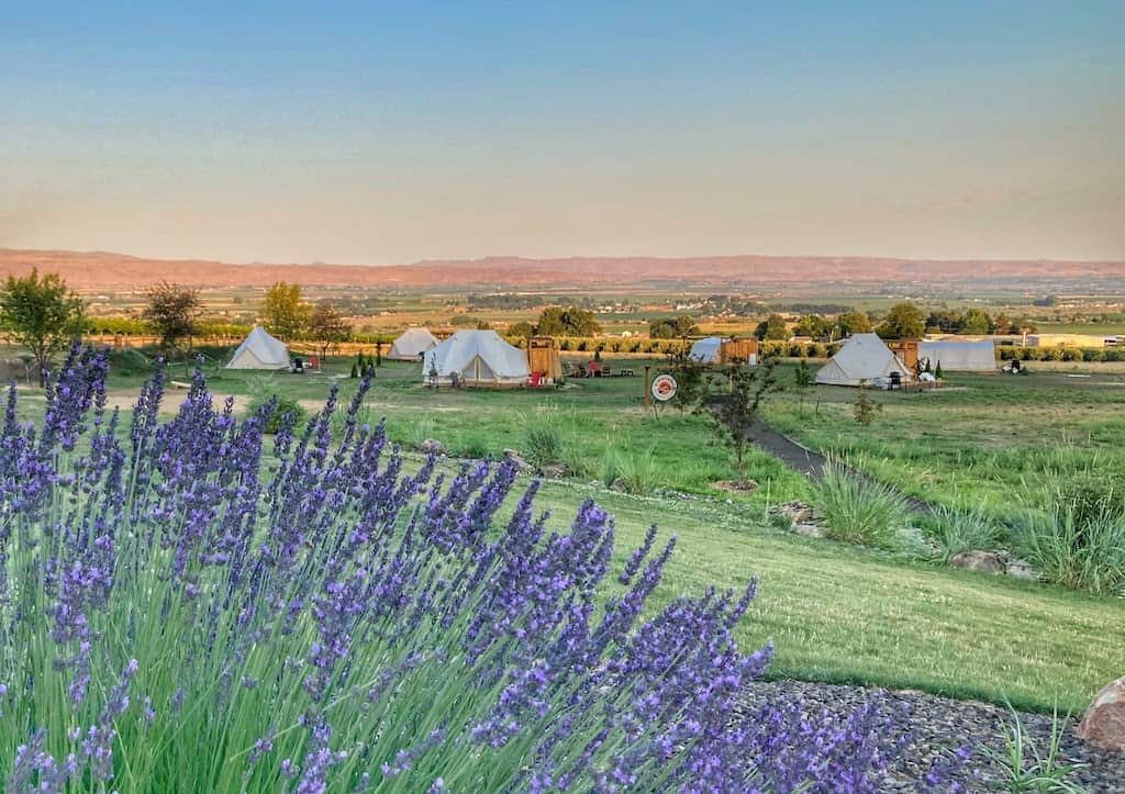 Lavender bushes and glamping tents at Sawtooth Winery in Caldwell, Idaho.
