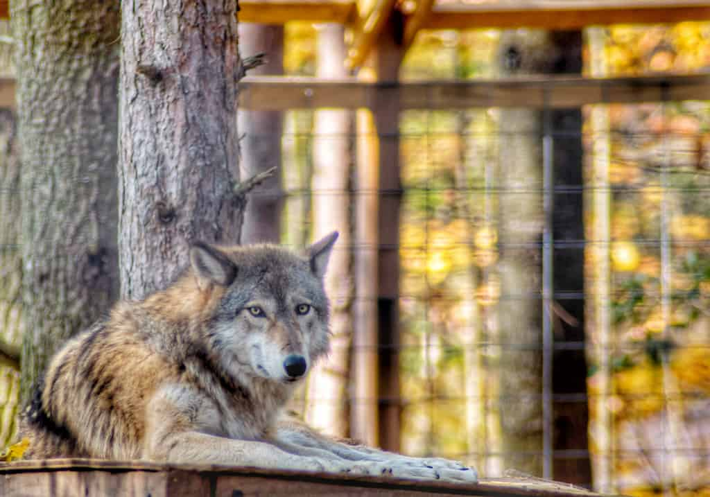 A wolf at the Adirondack Wildlife Refuge and Rehab in Wilmington, New York.