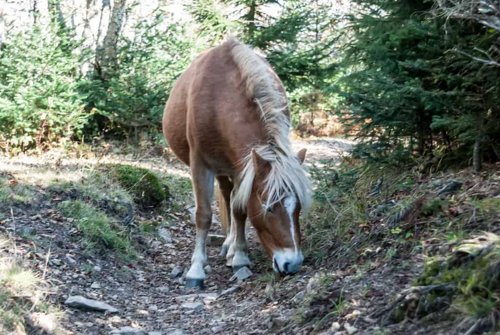 One of the many wild ponies that lives in Grayson Highlands State Park in Virginia.