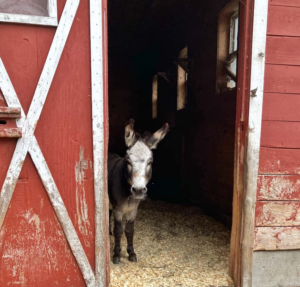 A miniature donkey stands in the doorway of a red barn at Nettle Meadow Farm in the Adirondacks of NY.