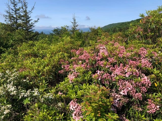 Rhododendrons in bloom on the Rhododendron Trail in Grayson Highlands State Park in Virginia.