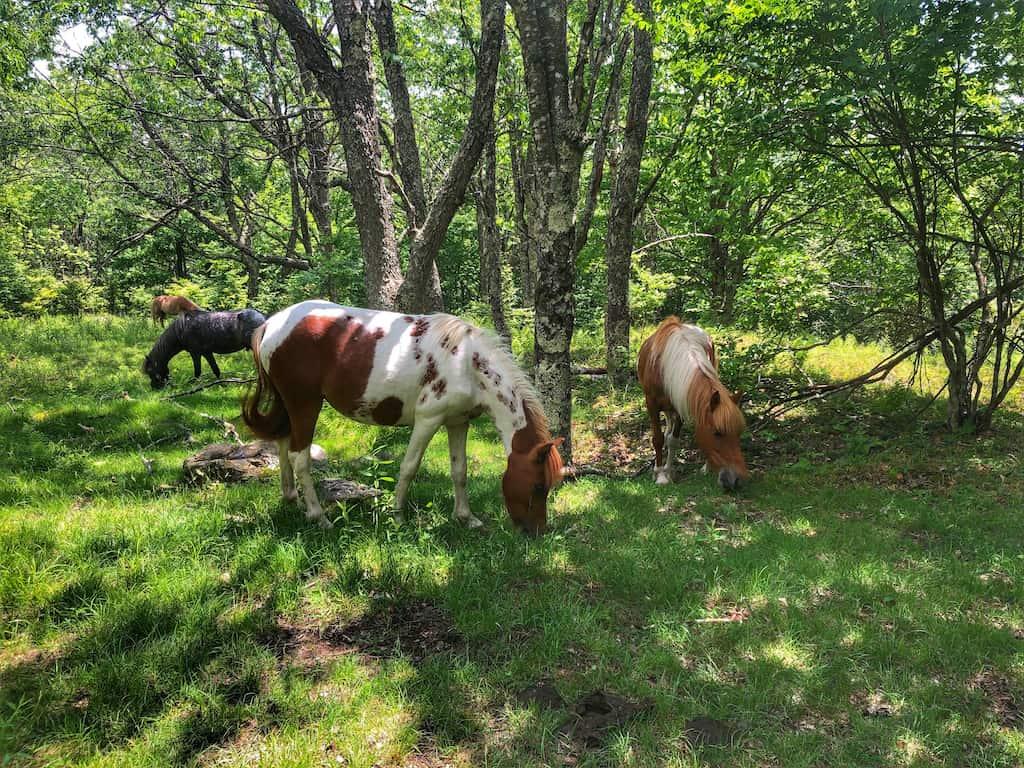 Wild ponies grazing in Grayson Highlands State Park in Virginia.