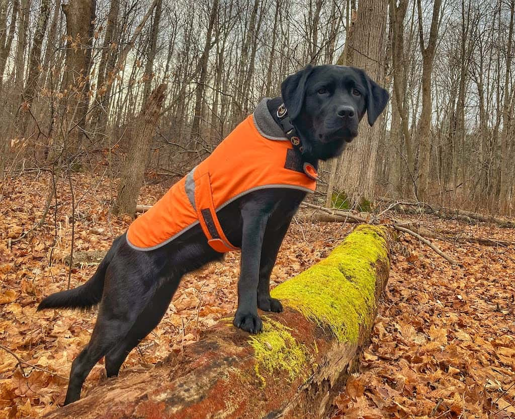 A black lab puppy wears a bright orange vest during hunting season in Vermont.